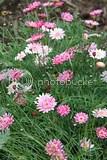 photo pink flowers iceland 04_zpsasx3keop.jpg