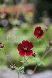 photo red flowers iceland 02_zpsh17glre9.jpg