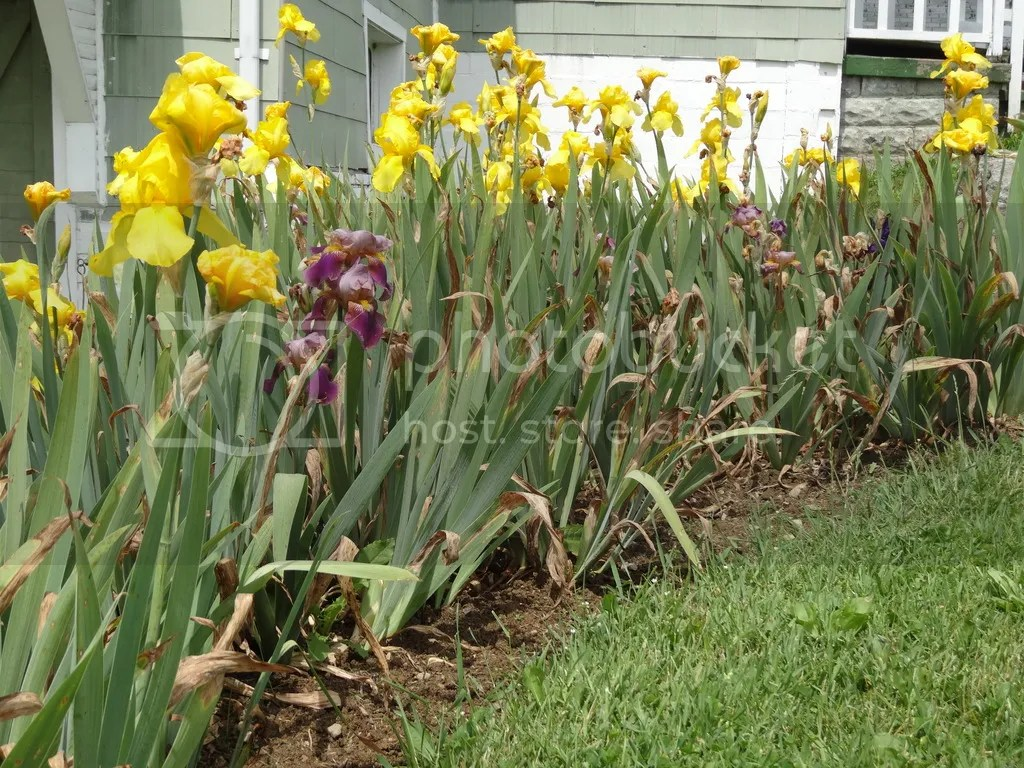 Bearded Iris bed 2016 photo DSC02392_zpsdy8gmruj.jpg
