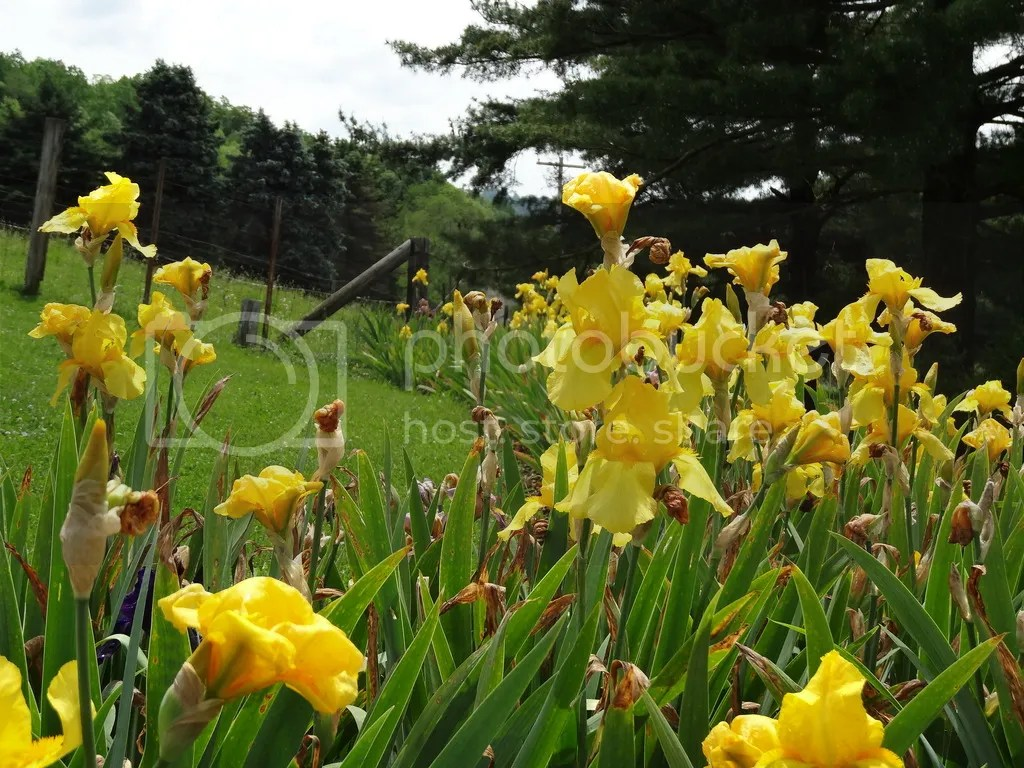 Bearded Iris bed 2016 photo DSC02393_zpszweqenmg.jpg