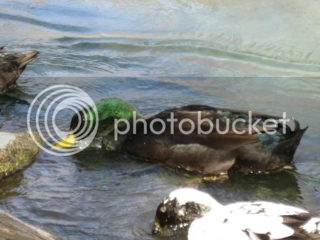 Another shot of the Mallard Duck