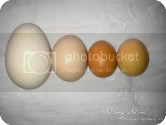 Goose Egg compared to Chicken Egg