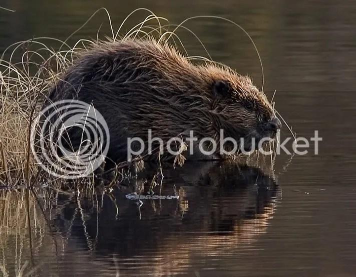 https://i0.wp.com/i1076.photobucket.com/albums/w449/gareng92/Beaver_pho34.jpg