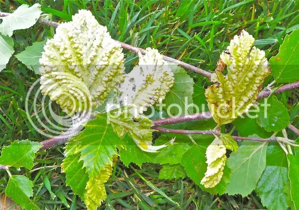 Strange Leaves on River Birch