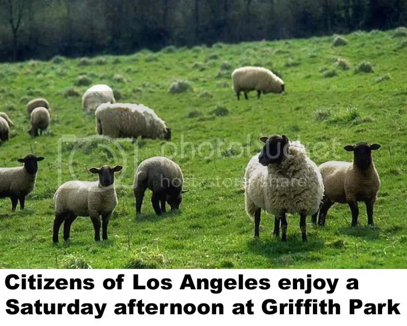 sheep at griffith