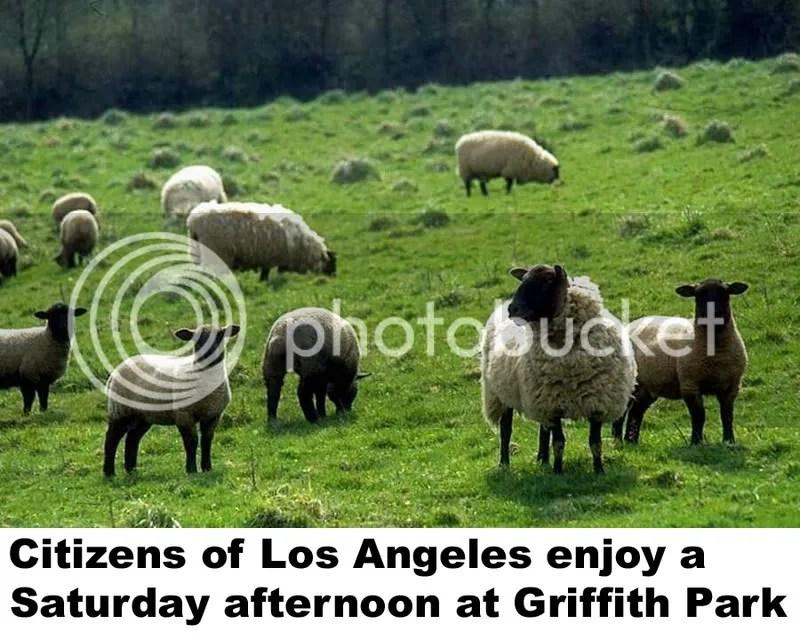 sheep at griffith