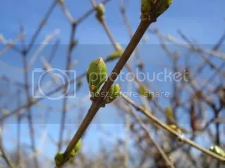 golden privet buds