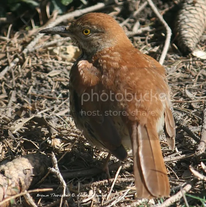 bendecire s brown thrasher photos