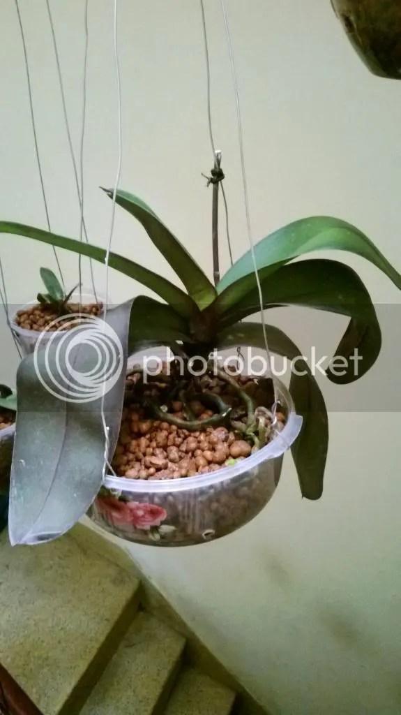 trồng hoa lan thuỷ canh