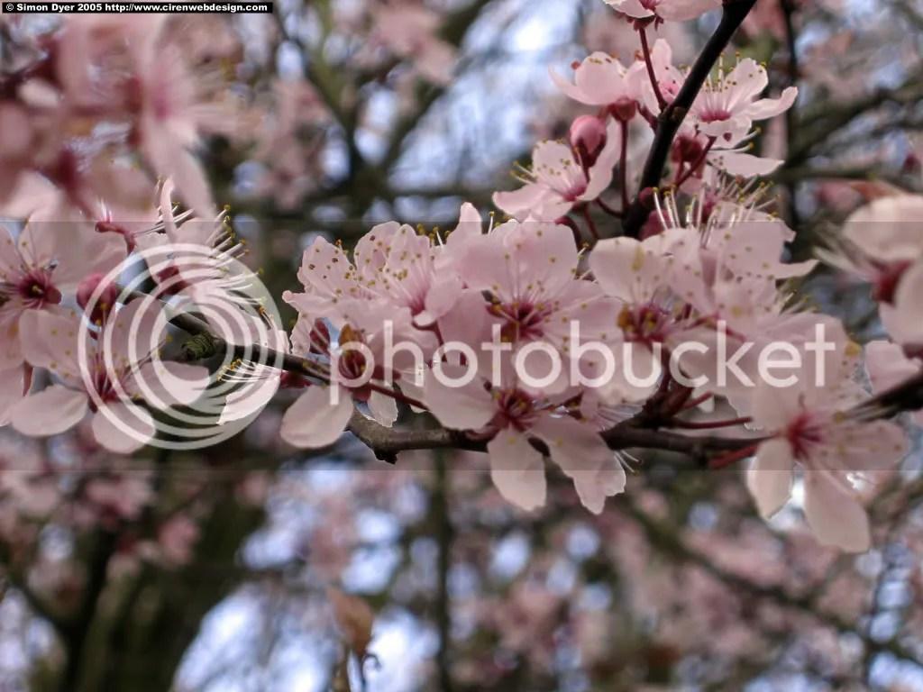 Cherry Blossom photo: cherry blossom cherry_blossom.jpg