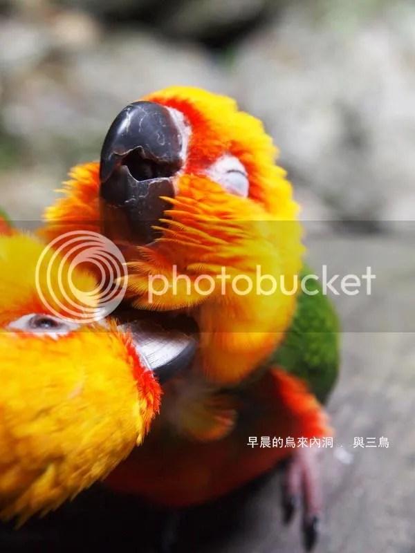 太陽鸚鵡飼養手冊 The Conure Handbook: 同伴