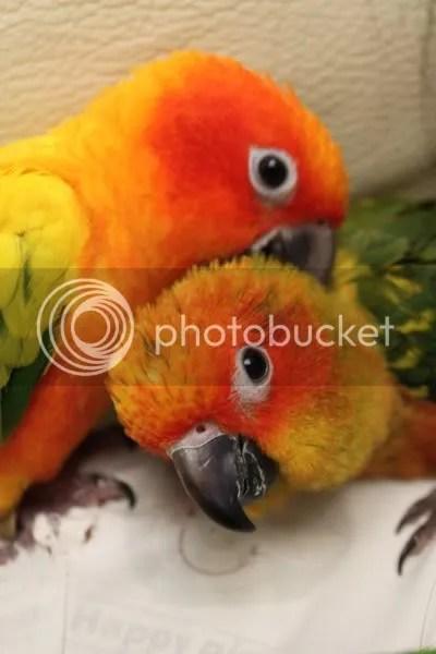 太陽鸚鵡飼養手冊 The Conure Handbook: 太陽鸚鵡的簡介 - 繁殖習慣