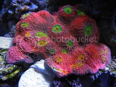 [Imagen: Echinophyllia_zps92ddc80e.jpg]