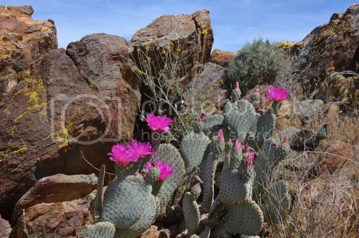 Beavertail cactus, April 2015 photo AnzaBo.beavBlossoms_zpse3mpkesz.jpg