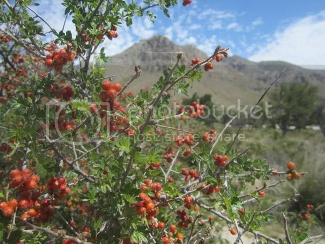 Desert Buckthorn photo GuadalupeBuckthorn_zpsad7ffce1.jpg