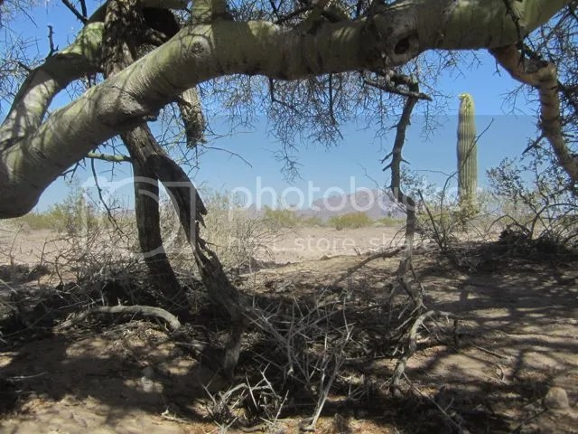 Palo verde shade photo Kofapaloverdeshade_zps3037ca18.jpg