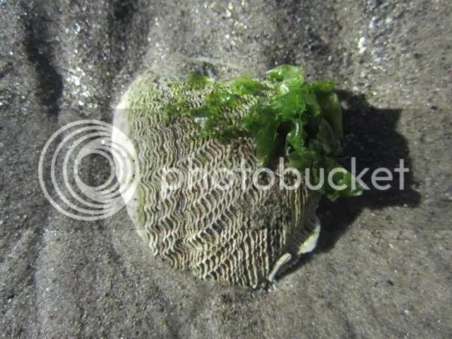Shell adorned with sea lettuce photo shellwsealettuce_zps58970ed5.jpg
