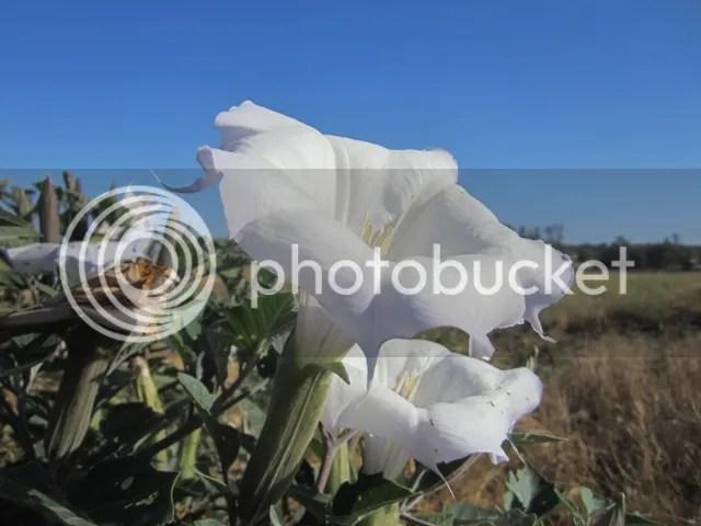 Jimson flower
