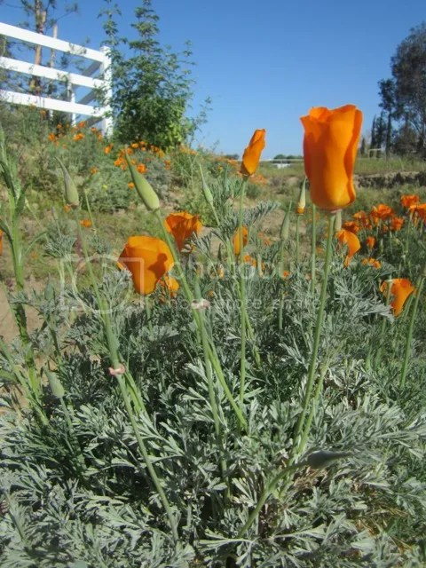 California poppy photo SoCalMarch2013123a_zps47b28447.jpg