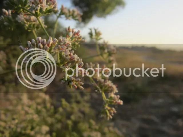 California buckwheat photo SoCalMay2013408a_zps382f5f4b.jpg