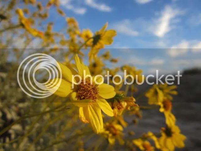Brittlebush photo IMG_6005brittlebush_zps3e8d6915.jpg