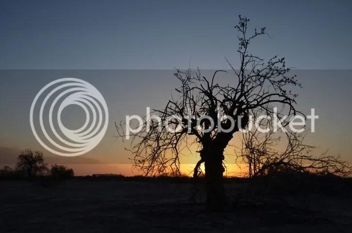 Ironwood silhouetted at dawn photo Sonoran.silhouette_zpsksz7wtgm.jpg