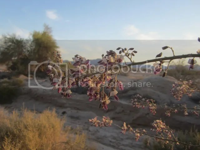Ironwood blossom photo SonoranApril20131797a_zps3e72bd2e.jpg