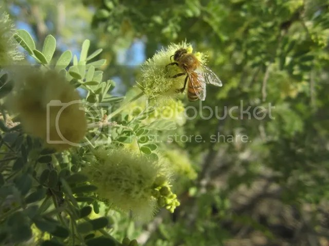 Bee on mesquite blossom photo SonoranApril20132022a_zpsf0f5a6e1.jpg