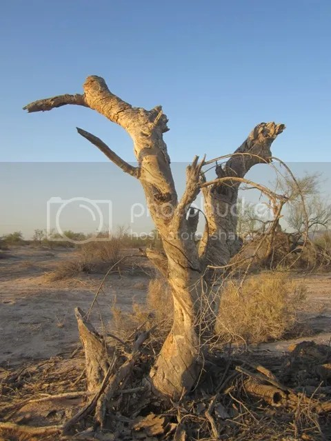 Dancing tree photo SonoranApril20133018a_zpsfd55b62a.jpg