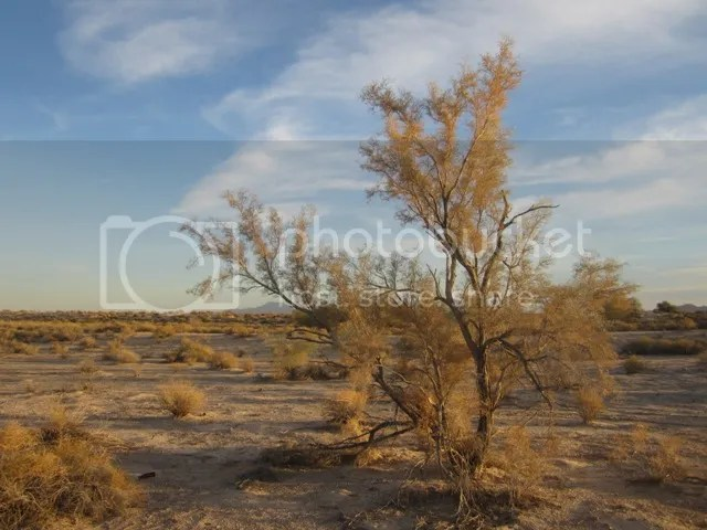 Indigo bush photo SonoranJan20131276a_zps16b3defa.jpg