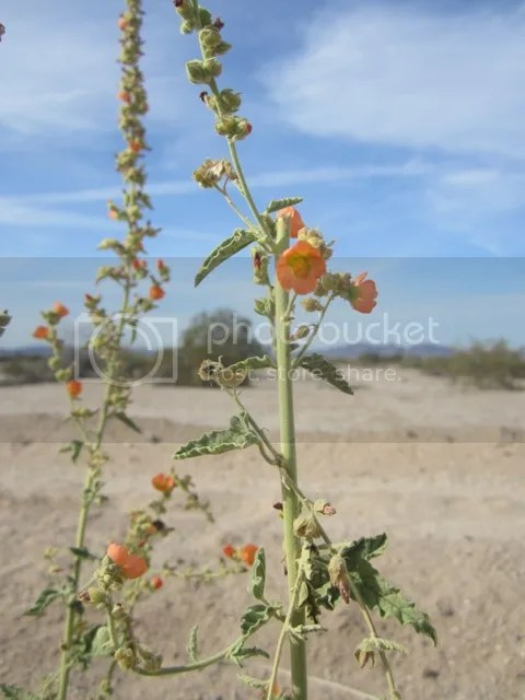 Globe mallow photo SonoranMar20135484a_zps5fe8156d.jpg