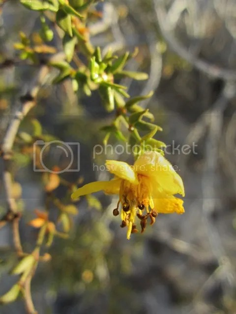 Creosote bush blossom photo SonoranMar2013575a_zps9bed6e93.jpg