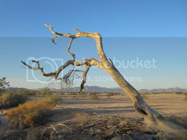Weathered tree