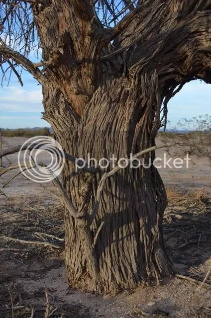 Ironwood tree photo Sonoranironwoodtrunk_zps31c54e14.jpg