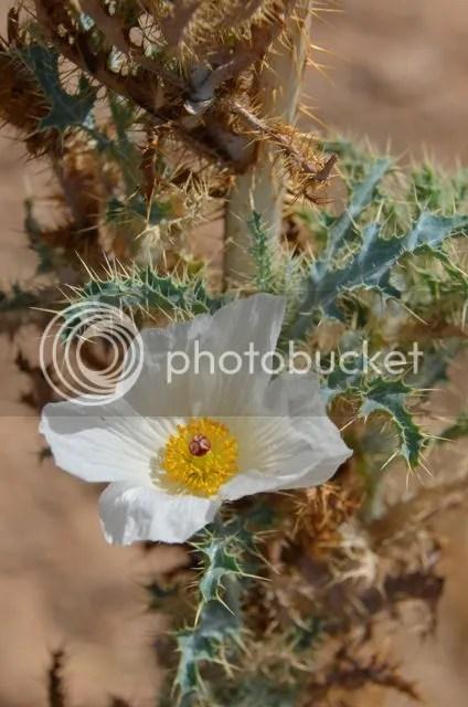 September prickly poppy photo SonoranpoppySept_zps340521b0.jpg