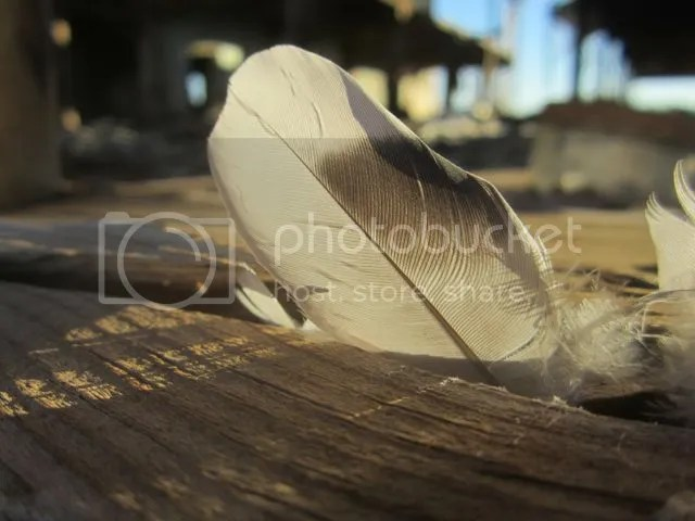 Feather photo feather_zps74cf6e6a.jpg