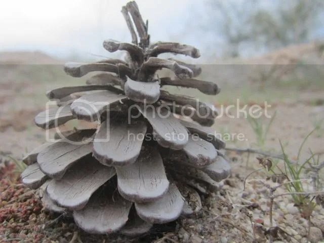 Pine cone photo pinecone_zpsc94594c1.jpg