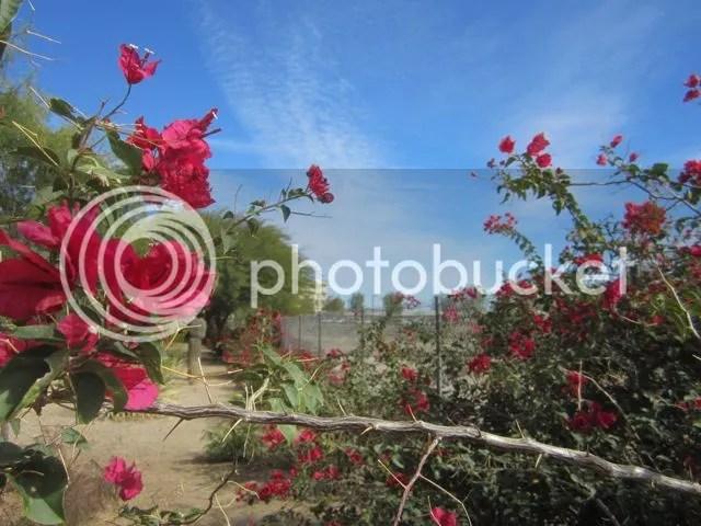Bougainvillea, Yuma Quartermaster Depot photo bougainvillea_zps55f5e6e7.jpg