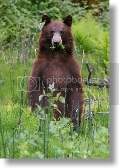 black bears photo: BROWN BEAR black-bear1.jpg