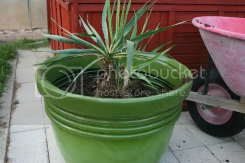 Replanting Yucca plant 5