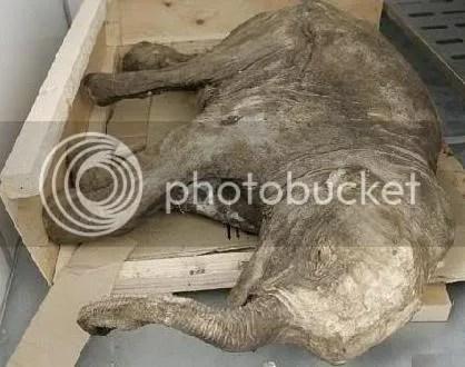 Klónozással feltámasztják a gyapjas mamutot