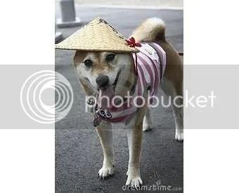 Japán SHiba kutya