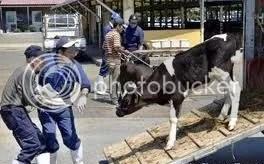 A kormány felvásárolja a fertőzött szarvasmarhákat
