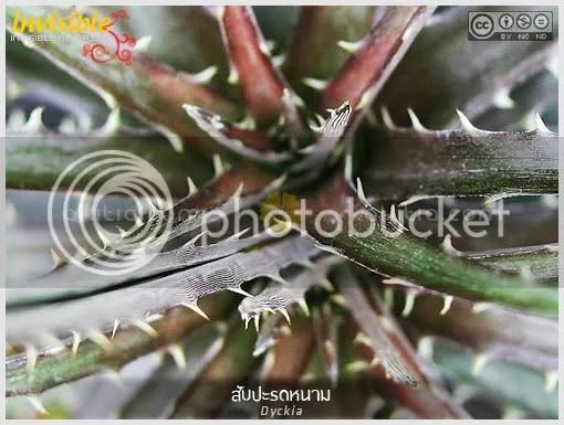 สับปะรดหนาม, Dyckia, ดิกเกีย, สับปะรดสี, หนาม, ทนแล้ง, ต้นไม้, aKitia.Com