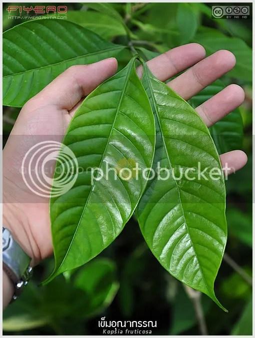 พุดชมพู, พุดชมพูแบบใหม่, เข็มอุณากรรณ, Kopsia rosea, ไม้พุ่ม, ออกดอกทั้งปี, ดอกสีชมพู, ไม้หายาก, ไม้ดอก, ไม้ประดับ, ไม้ไทย, ต้นไม้, ดอกไม้, aKitia.Com