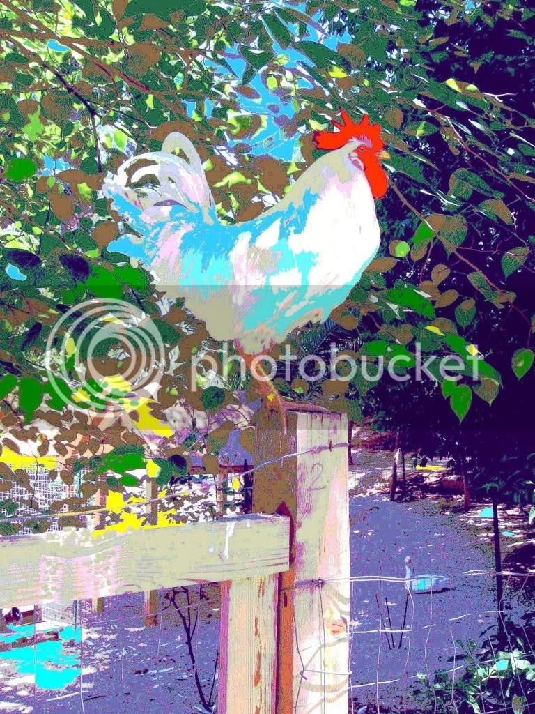 CODICE: A-13. TITOLO: Il superbo gallo della Villa Comunale di Ribera