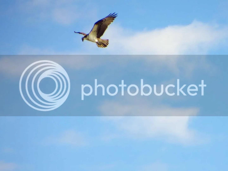 Hawk in the sky soaring high