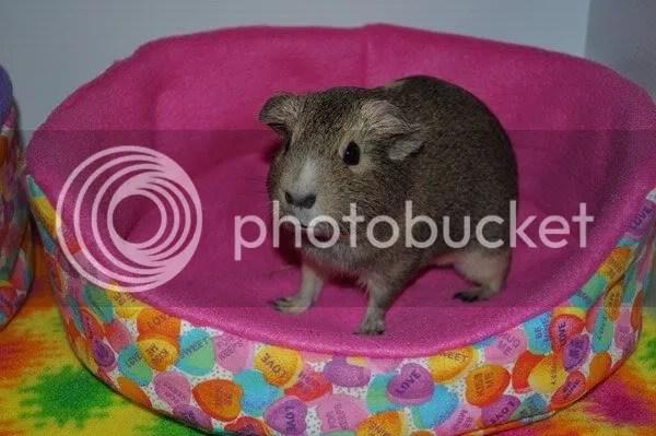 Holly, a guinea pig.