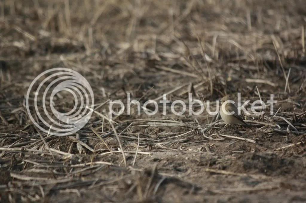 Desert Wheatear by Shailee Shah - La Paz Group