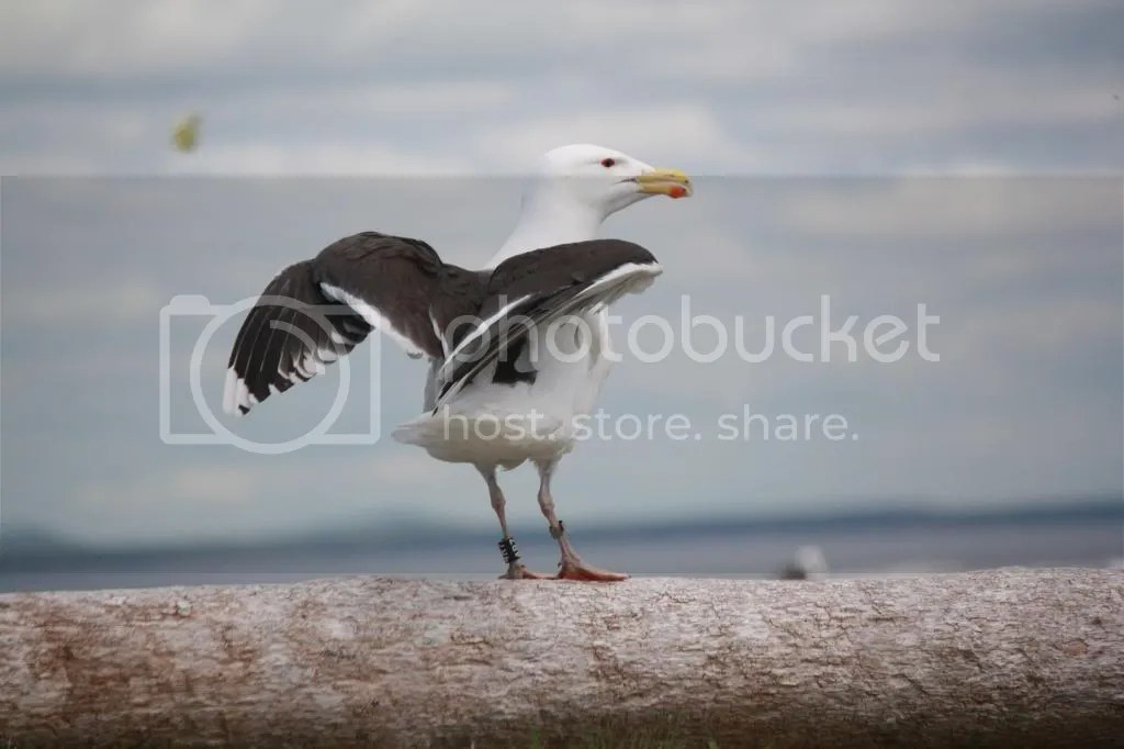 Great Black-backed Gull by Shailee Shah - La Paz Group